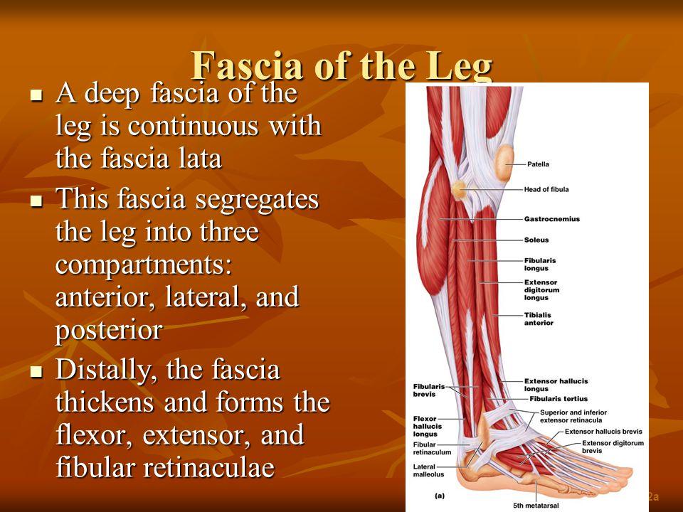 Fascia of the Leg A deep fascia of the leg is continuous with the fascia lata A deep fascia of the leg is continuous with the fascia lata This fascia