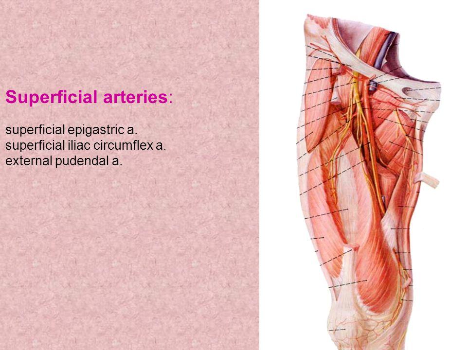 Superficial arteries: superficial epigastric a.superficial iliac circumflex a.