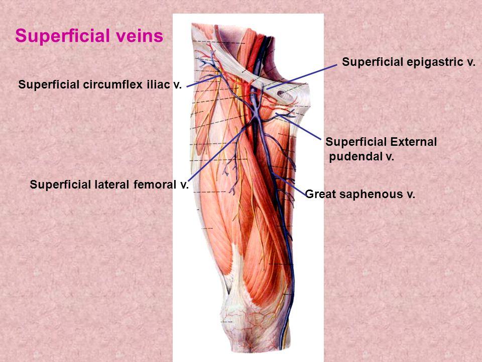 Superficial epigastric v.Superficial External pudendal v.