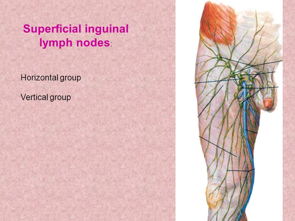 Superficial inguinal lymph nodes : Horizontal group Vertical group