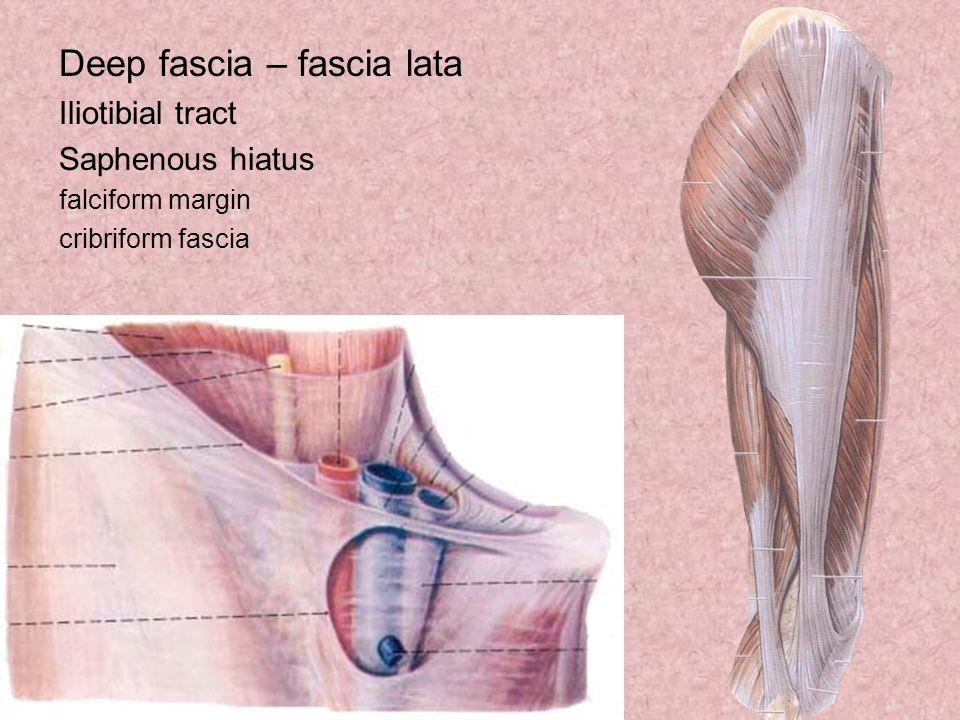 Deep fascia – fascia lata Iliotibial tract Saphenous hiatus falciform margin cribriform fascia