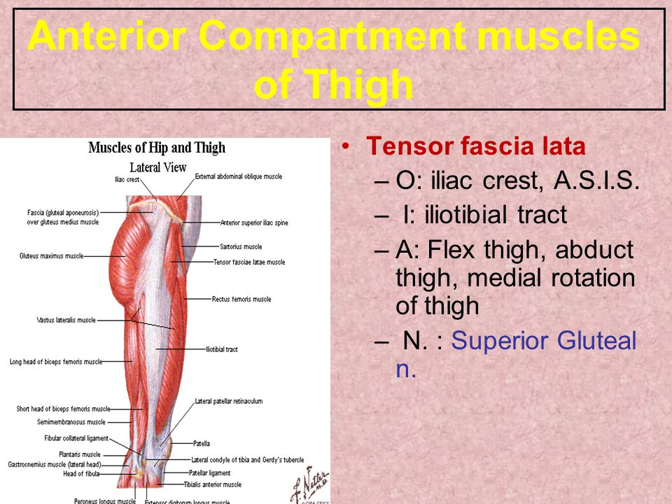 Anterior Compartment muscles of Thigh Tensor fascia lata –O: iliac crest, A.S.I.S. – I: iliotibial tract –A: Flex thigh, abduct thigh, medial rotation