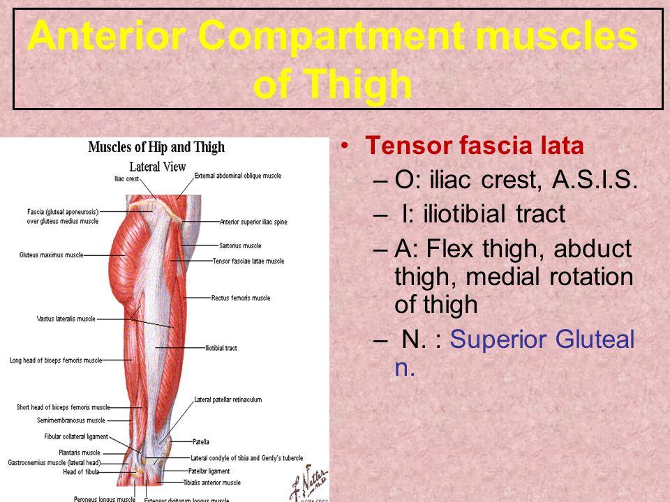 Anterior Compartment muscles of Thigh Tensor fascia lata –O: iliac crest, A.S.I.S.