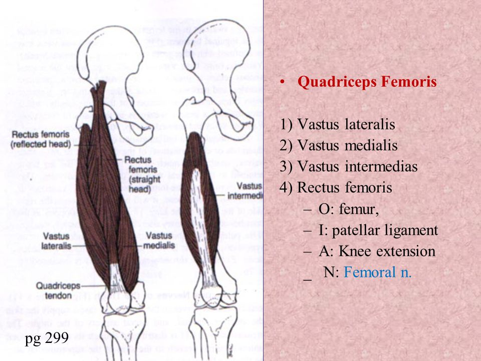 Quadriceps Femoris 1) Vastus lateralis 2) Vastus medialis 3) Vastus intermedias 4) Rectus femoris –O: femur, –I: patellar ligament –A: Knee extension _ N: Femoral n.