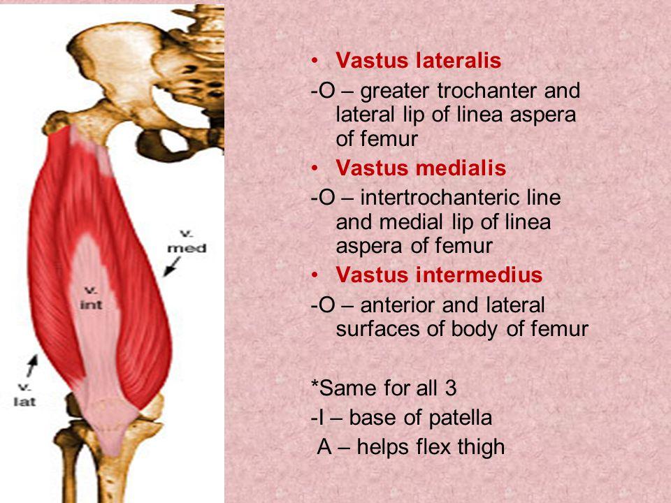 Vastus lateralis -O – greater trochanter and lateral lip of linea aspera of femur Vastus medialis -O – intertrochanteric line and medial lip of linea