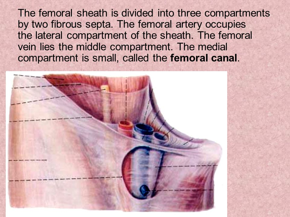 The femoral sheath is divided into three compartments by two fibrous septa. The femoral artery occupies the lateral compartment of the sheath. The fem