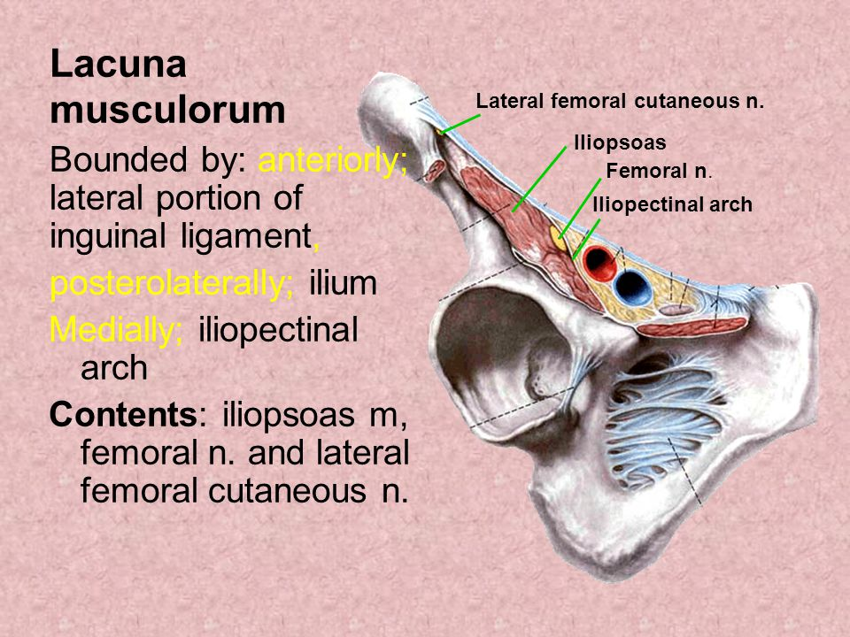 Lacuna musculorum Bounded by: anteriorly; lateral portion of inguinal ligament, posterolaterally; ilium Medially; iliopectinal arch Contents: iliopsoa