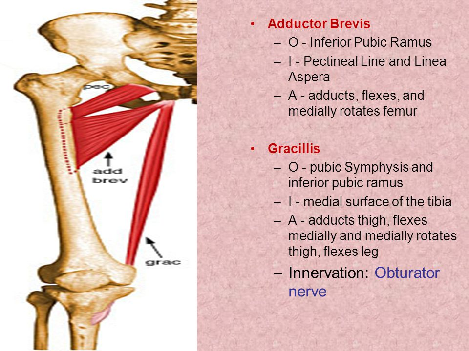 Adductor Brevis –O - Inferior Pubic Ramus –I - Pectineal Line and Linea Aspera –A - adducts, flexes, and medially rotates femur Gracillis –O - pubic Symphysis and inferior pubic ramus –I - medial surface of the tibia –A - adducts thigh, flexes medially and medially rotates thigh, flexes leg –Innervation: Obturator nerve