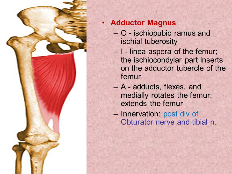 Adductor Magnus –O - ischiopubic ramus and ischial tuberosity –I - linea aspera of the femur; the ischiocondylar part inserts on the adductor tubercle of the femur –A - adducts, flexes, and medially rotates the femur; extends the femur –Innervation: post div of Obturator nerve and tibial n.