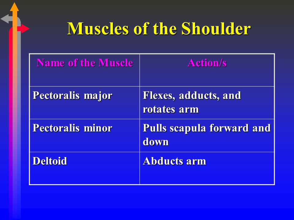Muscles of the Shoulder Name of the Muscle Action/s Pectoralis major Flexes, adducts, and rotates arm Pectoralis minor Pulls scapula forward and down