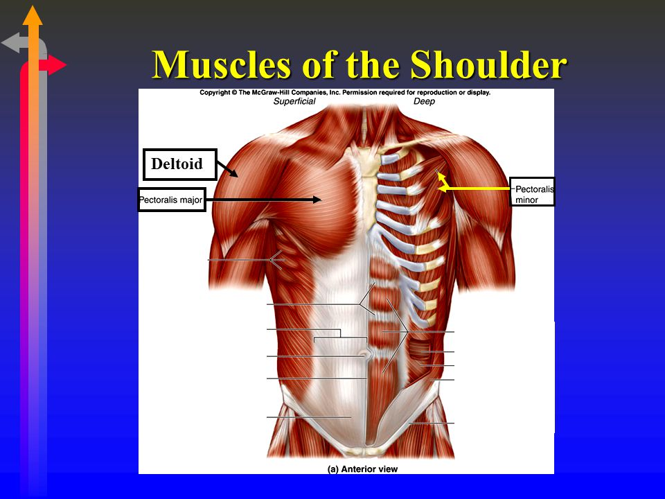Muscles of the Shoulder Deltoid