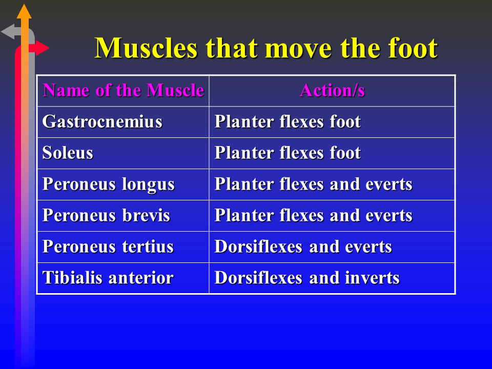 Muscles that move the foot Name of the Muscle Action/s Gastrocnemius Planter flexes foot Soleus Peroneus longus Planter flexes and everts Peroneus bre