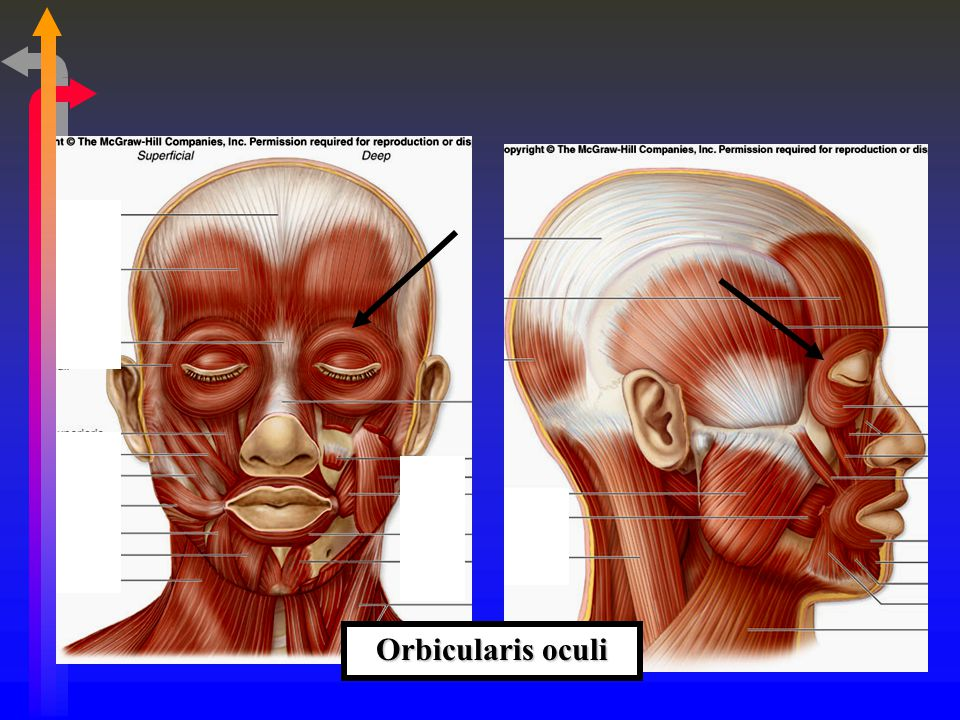 Suprahyoid Muscles Name of the Muscle Action/s Diagastric Opens mouth, elevates hyoid Mylohyoid Elevates hyoid and floor of mouth Geniohyoid Elevates hyoid and protracts the tongue Genioglossus Protracts the tongue Styloglossus Retracts and elevates tongue Stylohyoid