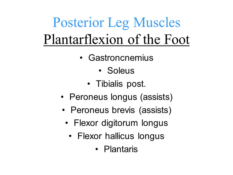 Lat. Leg muscles Peroneus Brevis O: lat. Shaft of fibula (distal 2/3) I: base of 5 th metatarsal A: eversion of foot assists plantar flexion of ankle
