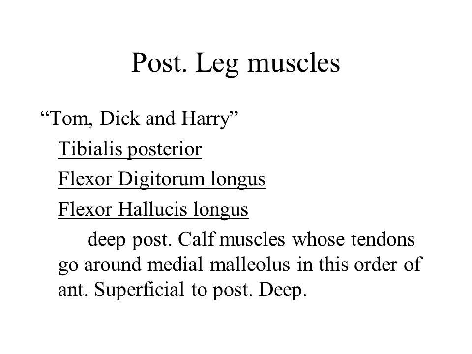 Post. Leg muscles Flexor Hallucis longus O: post. Fibula I: distal phalanx of great toe (plantar surface) (back of leg to great toe) A: flexion of gre
