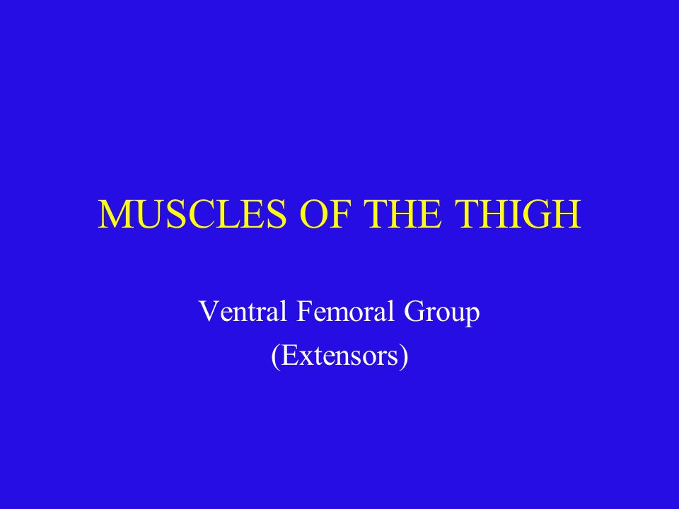 MUSCLES OF THE THIGH Ventral Femoral Group (Extensors)