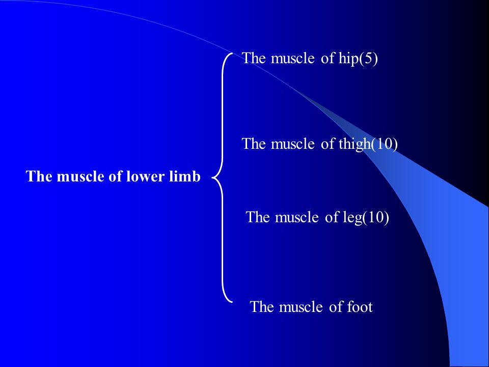 The muscle of hip(5) The muscle of thigh(10) The muscle of leg(10) The muscle of foot The muscle of lower limb