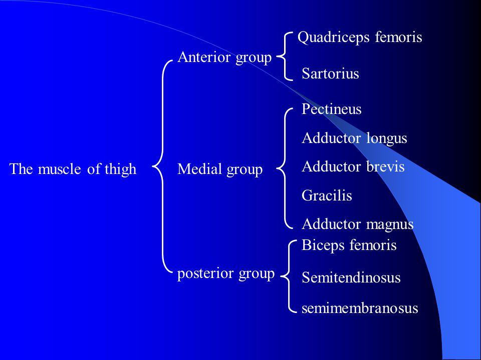 Quadriceps femoris Rectus femoris: anterior inferior iliac spine Vastus medialis and lateralis: linea aspera Vastus intermedius: anterior surface of the femur Patellar ligment Extensor of leg, flexes the thigh return