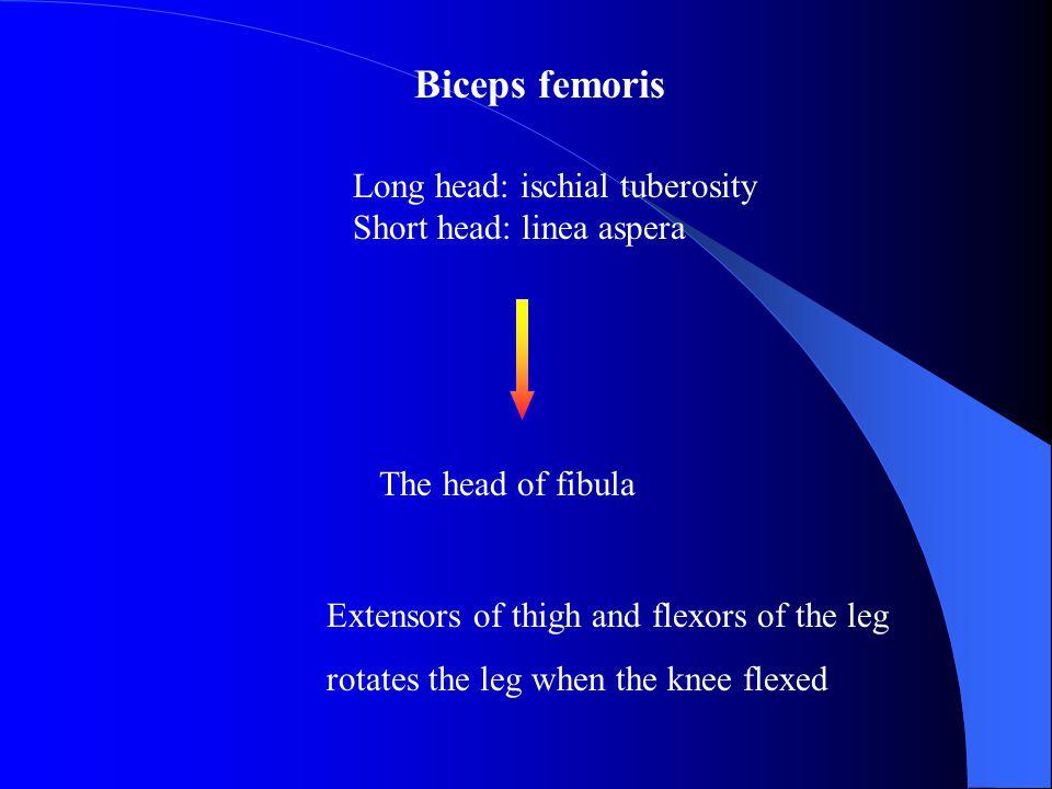 Long head: ischial tuberosity Short head: linea aspera The head of fibula Extensors of thigh and flexors of the leg rotates the leg when the knee flex