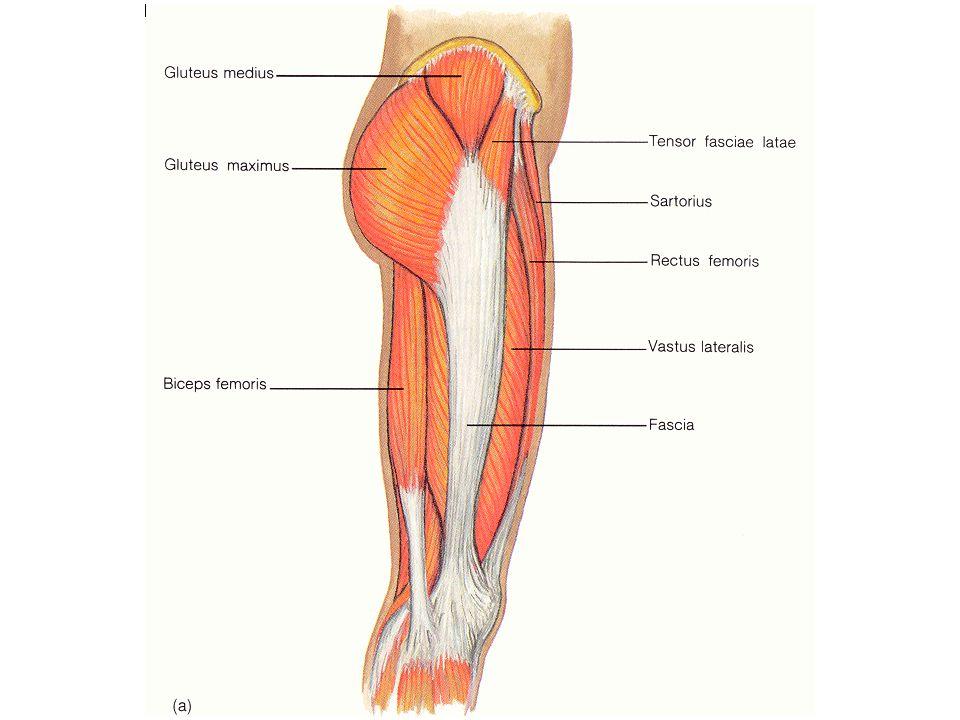 Muscles of the anterior thigh Quadriceps femoris – Rectus femoris – Vastus lateralis – Vastus intermedius – Vastus medialis Patellar tendon Actions – Hip: – Knee