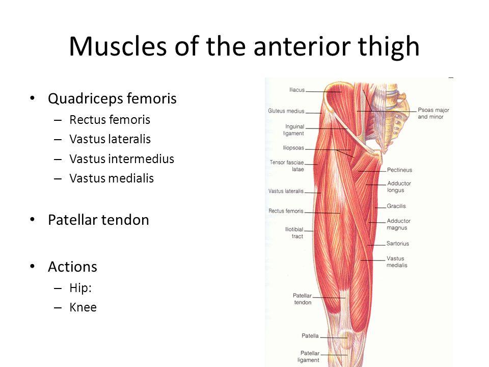 Muscles of the anterior thigh Quadriceps femoris – Rectus femoris – Vastus lateralis – Vastus intermedius – Vastus medialis Patellar tendon Actions –