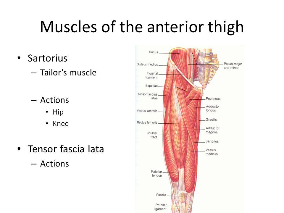 Muscles of the anterior leg Tibialis anterior – Actions Extensor digitorum longus – Actions Extensor hallicus longus – Actions