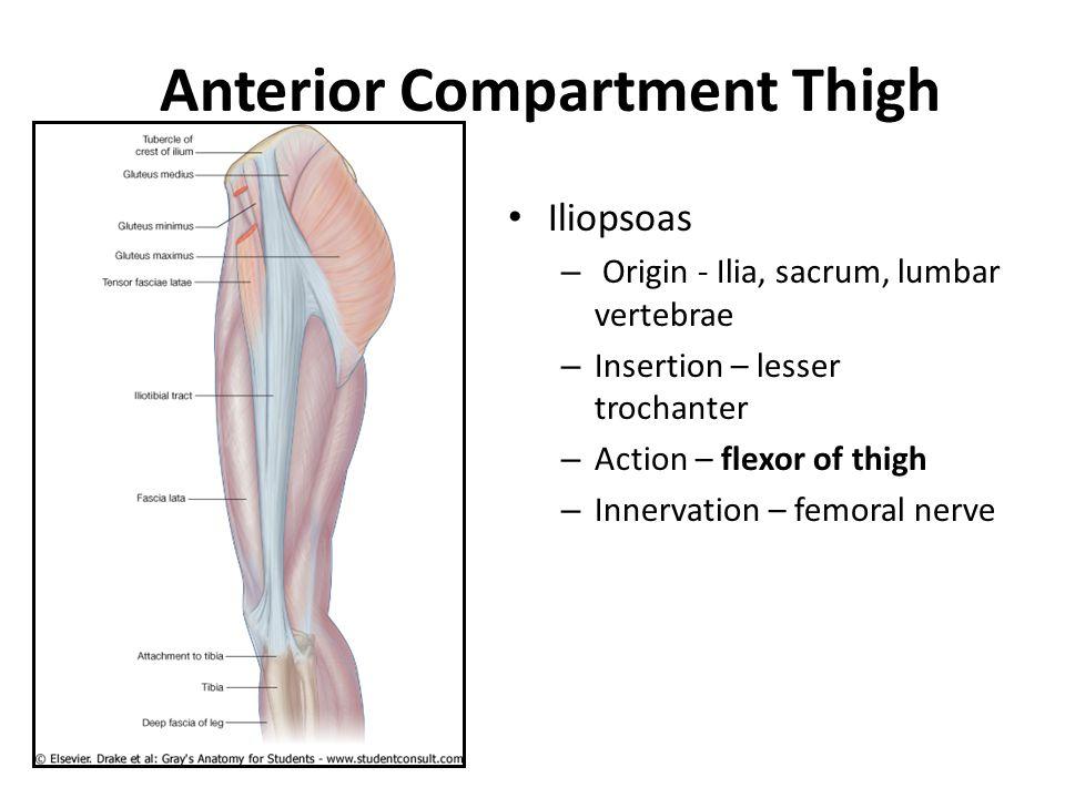 Anterior Compartment Thigh Iliopsoas – Origin - Ilia, sacrum, lumbar vertebrae – Insertion – lesser trochanter – Action – flexor of thigh – Innervatio