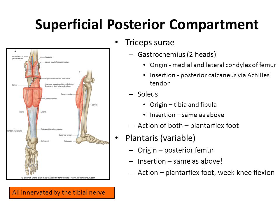 Superficial Posterior Compartment Triceps surae – Gastrocnemius (2 heads) Origin - medial and lateral condyles of femur Insertion - posterior calcaneu