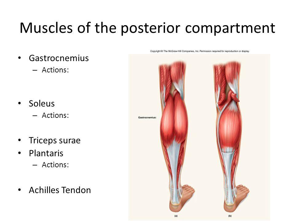 Muscles of the posterior compartment Gastrocnemius – Actions: Soleus – Actions: Triceps surae Plantaris – Actions: Achilles Tendon