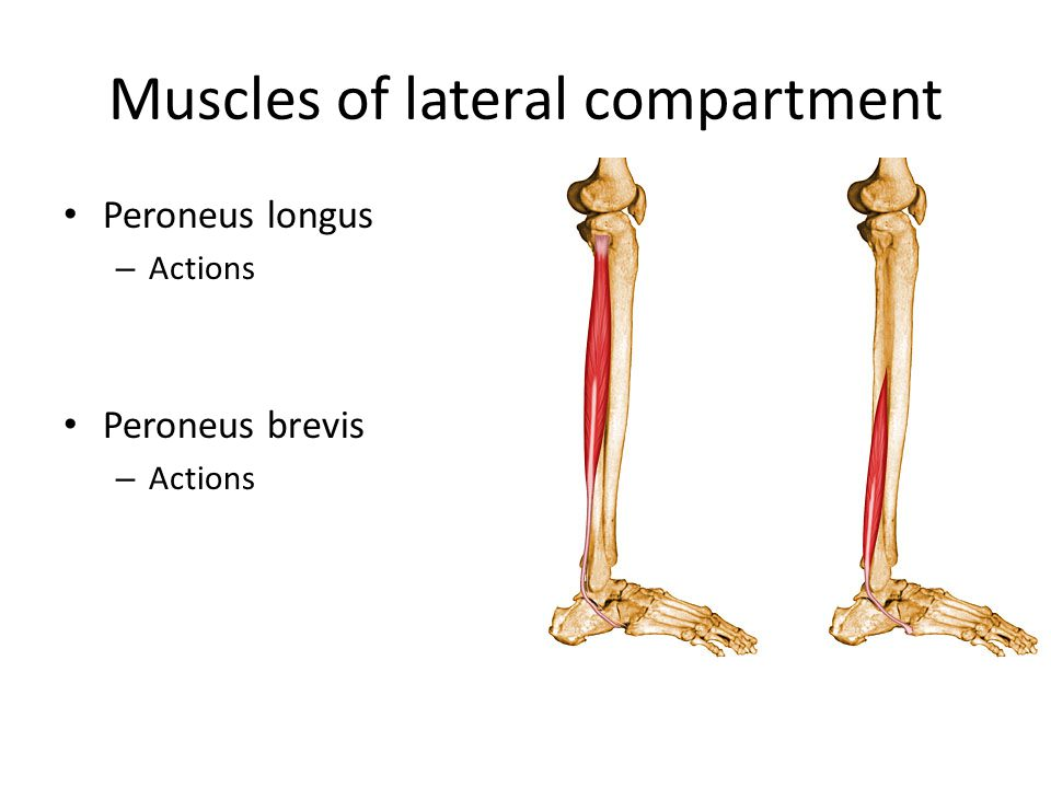 Muscles of lateral compartment Peroneus longus – Actions Peroneus brevis – Actions