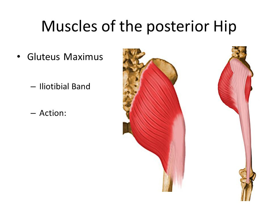 Muscles of the posterior Hip Gluteus Maximus – Iliotibial Band – Action: