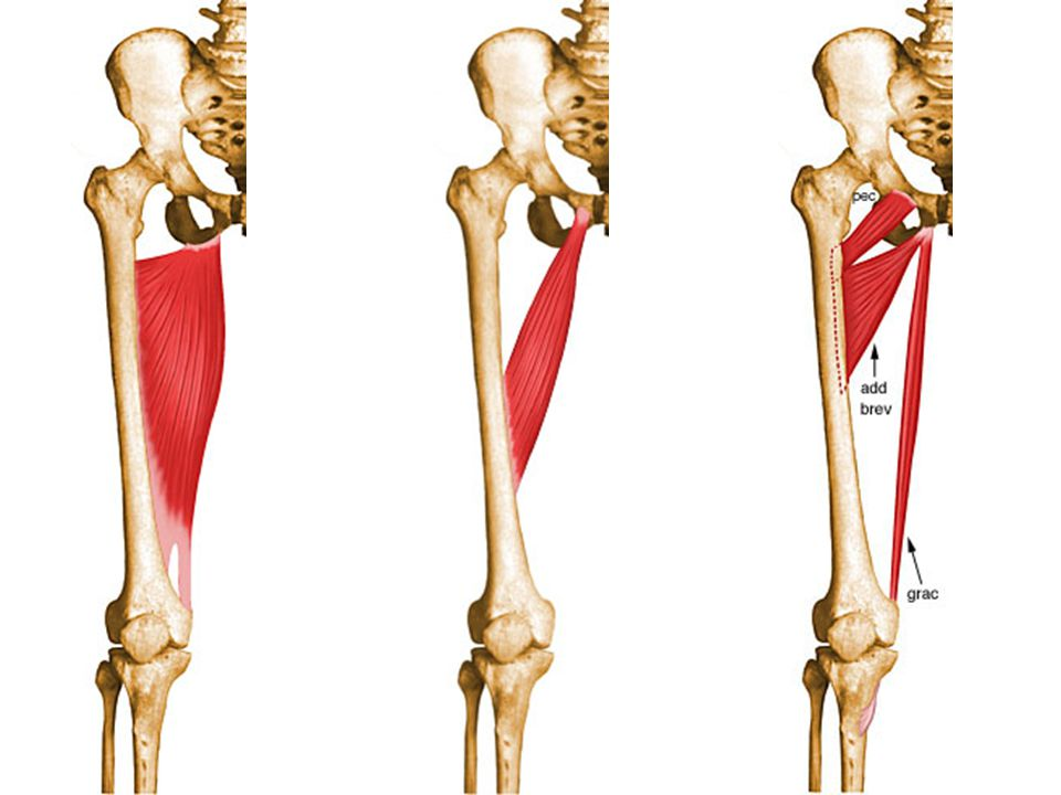 Muscles of medial compartment Gracilis Actions: – Hip: – Knee: