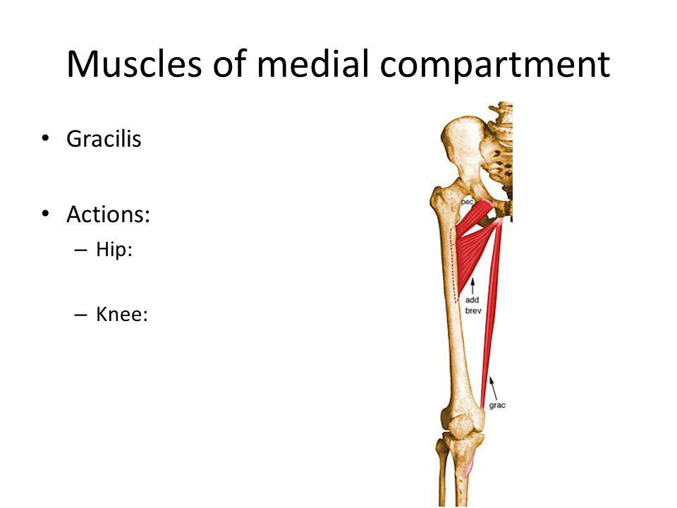 Muscles of the posterior thigh Hamstrings – Biceps femoris Short head Long head – Semimembranosus – Semitendinosus Actions – Hip: – Knee: