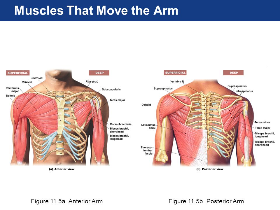 Figure 11.5a Anterior ArmFigure 11.5b Posterior Arm Muscles That Move the Arm