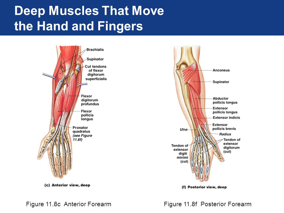 Figure 11.8c Anterior ForearmFigure 11.8f Posterior Forearm Deep Muscles That Move the Hand and Fingers