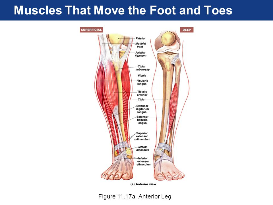 Figure 11.17a Anterior Leg Muscles That Move the Foot and Toes