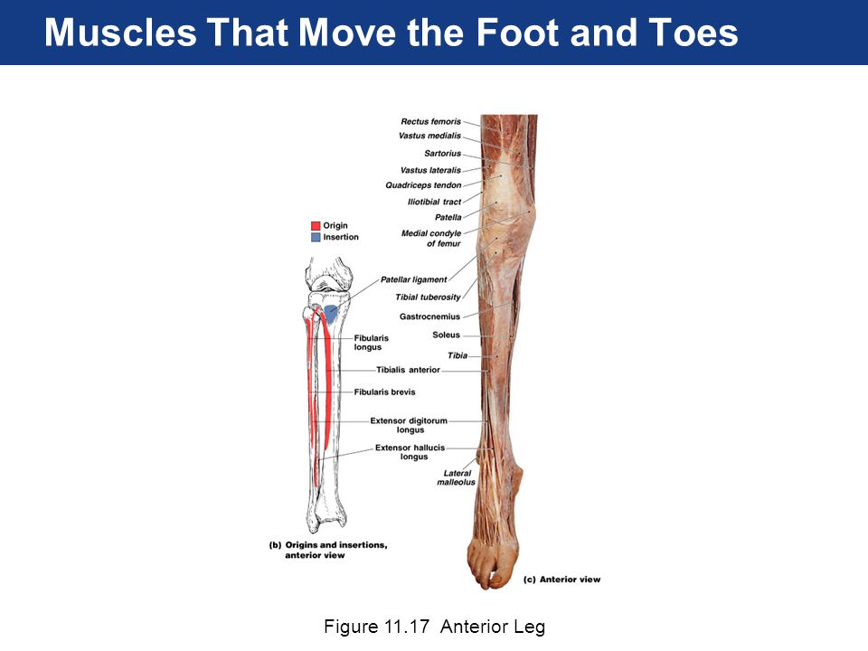 Figure 11.17 Anterior Leg Muscles That Move the Foot and Toes