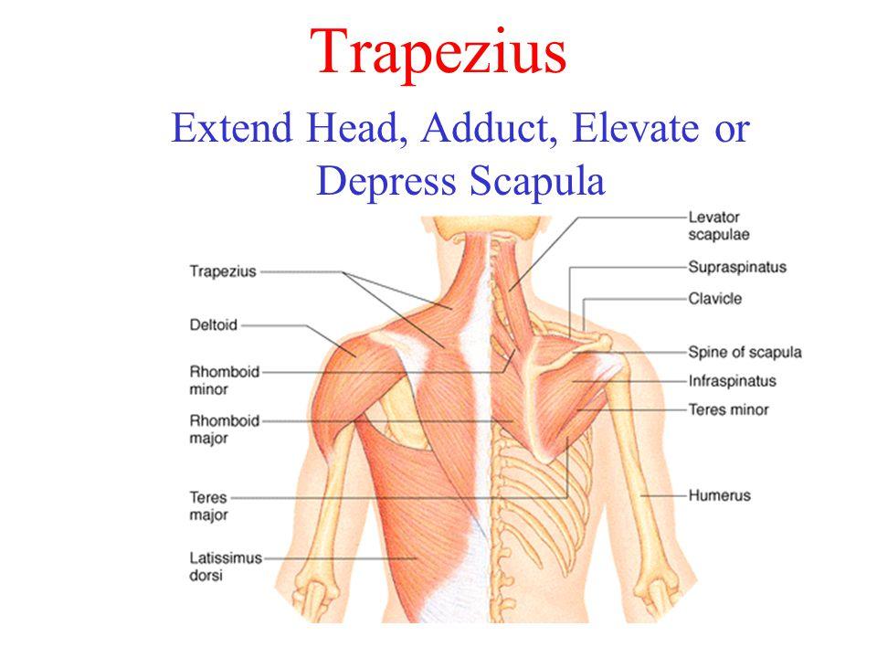 Trapezius Extend Head, Adduct, Elevate or Depress Scapula