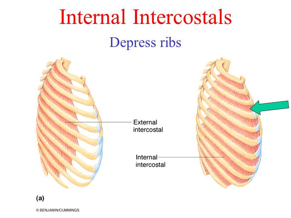 Internal Intercostals Depress ribs
