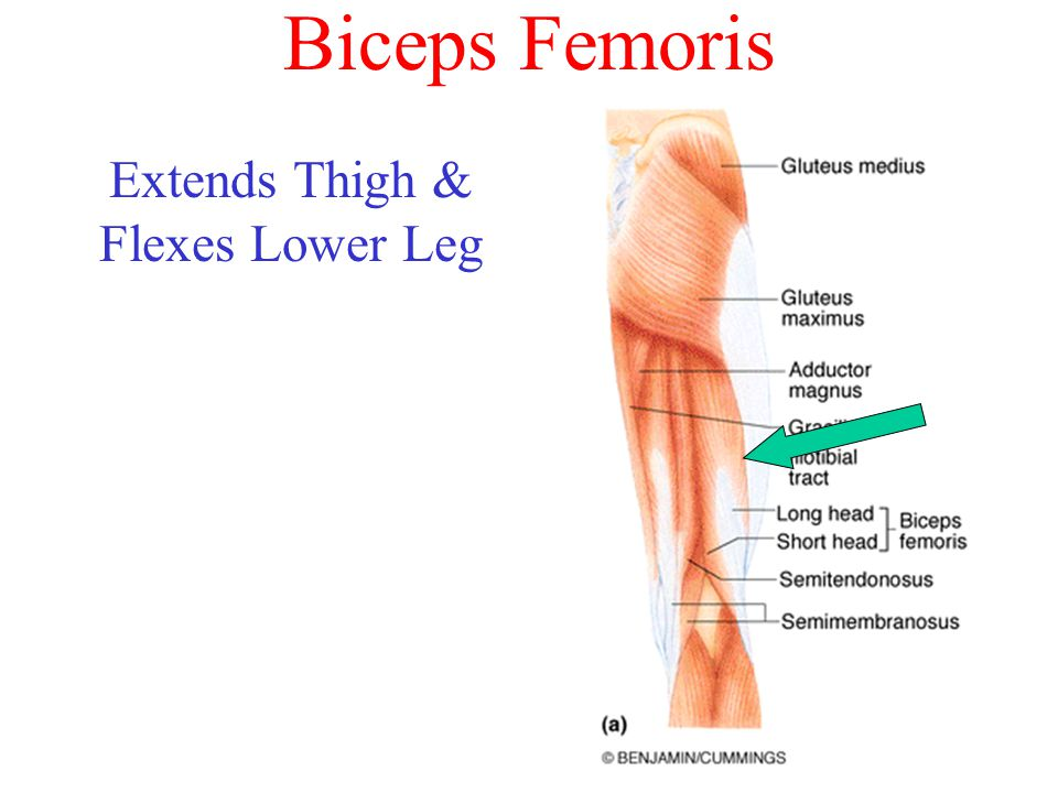 Biceps Femoris Extends Thigh & Flexes Lower Leg