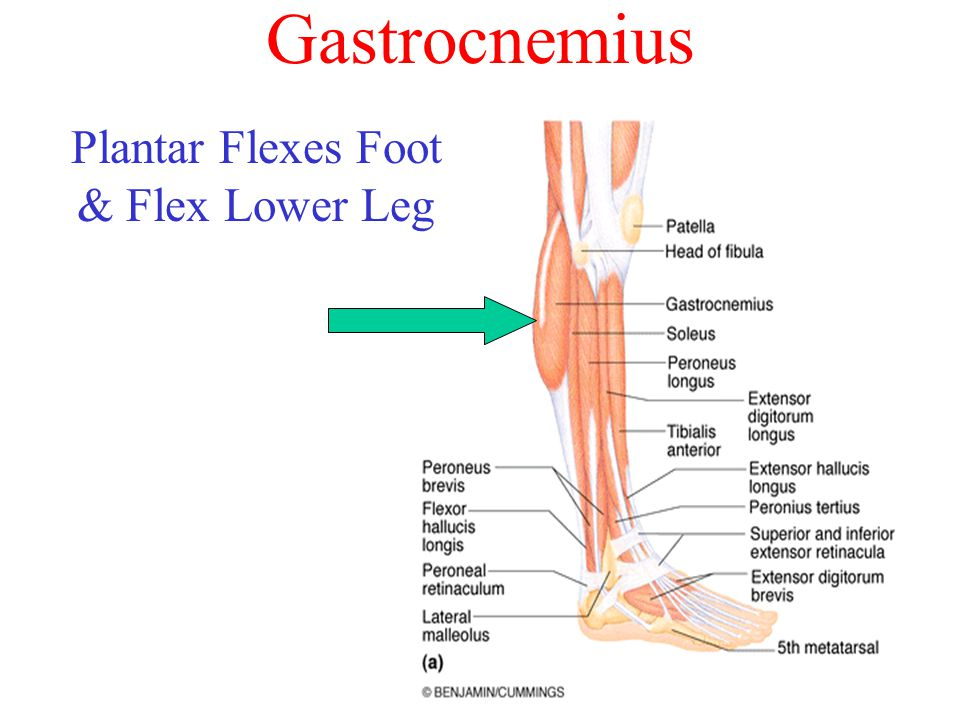 Gastrocnemius Plantar Flexes Foot & Flex Lower Leg