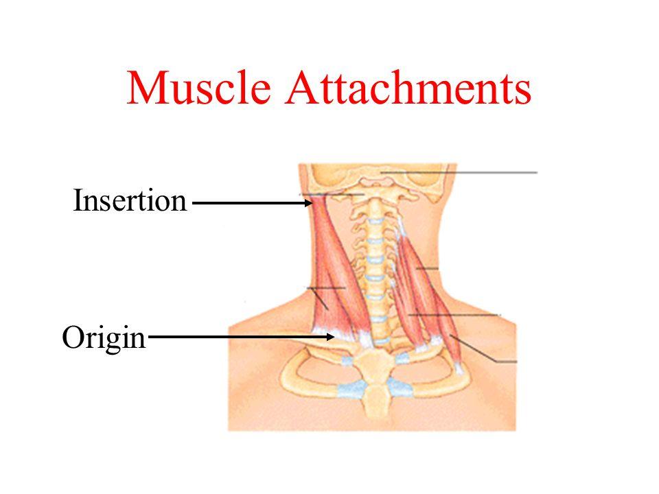 Muscle Attachments Origin Insertion