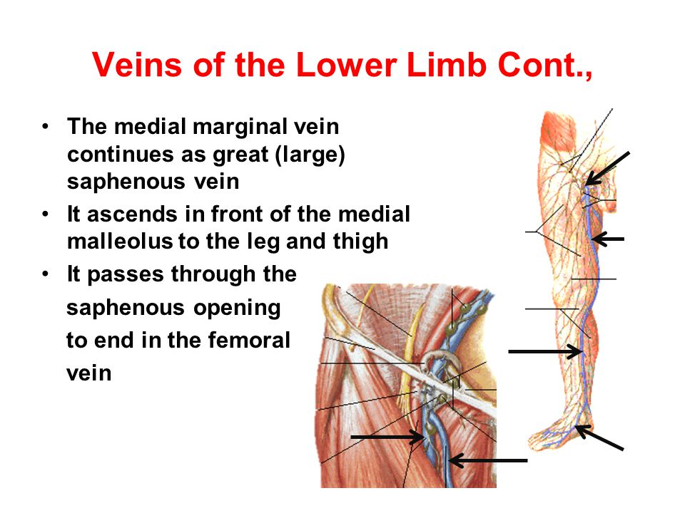 Veins of the Lower Limb Cont., The medial marginal vein continues as great (large) saphenous vein It ascends in front of the medial malleolus to the l