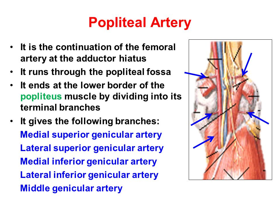 Lower limb Vasculature Applied anatomy Surface anatomy Arteriography and veinography Varicose veins Obstructive vasculopathy Arterial pulse Deep vein thrombosis