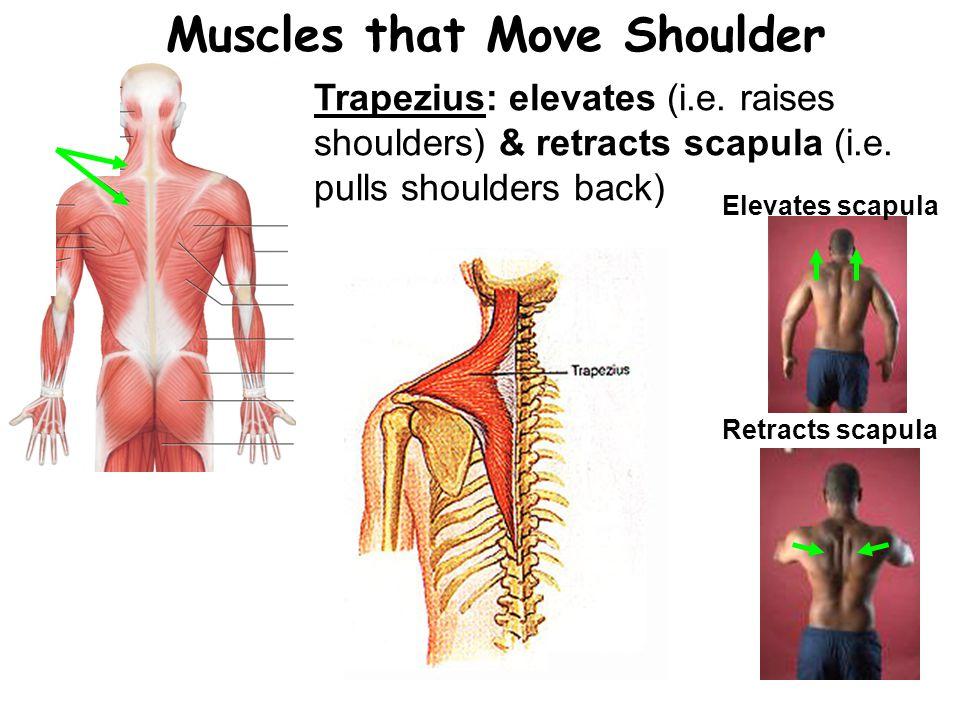 Muscles that Move Shoulder Trapezius: elevates (i.e.