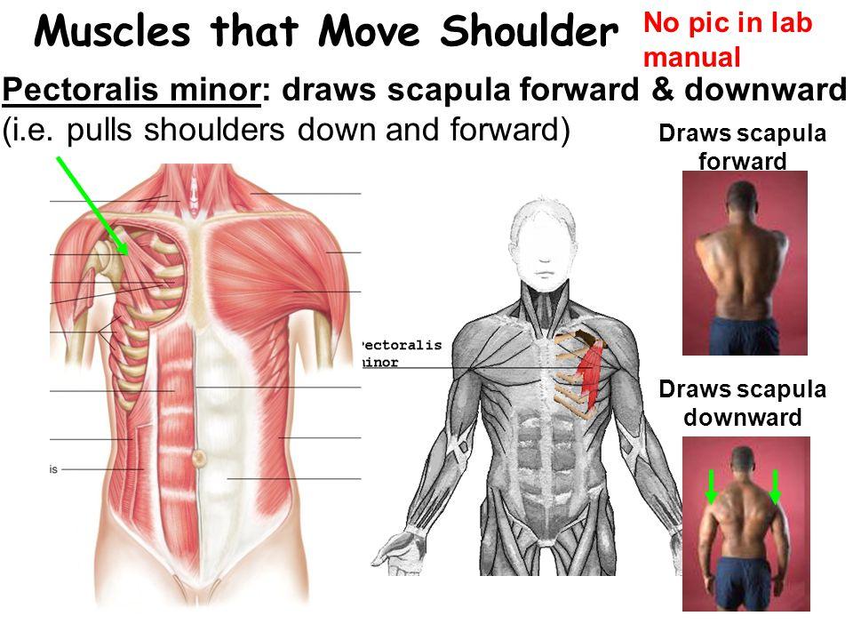 Muscles that Move Shoulder Pectoralis minor: draws scapula forward & downward (i.e.