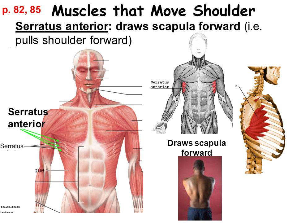 Muscles that Move Shoulder Serratus anterior: draws scapula forward (i.e.