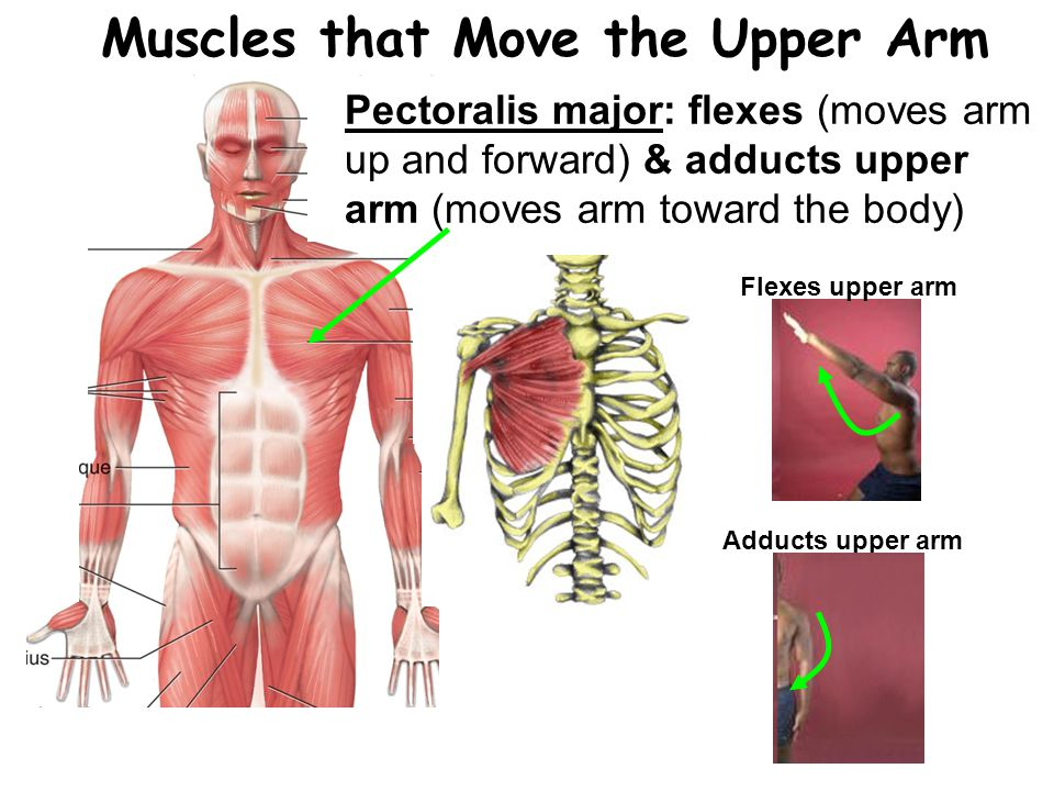 Pectoralis major: flexes (moves arm up and forward) & adducts upper arm (moves arm toward the body) Muscles that Move the Upper Arm Flexes upper arm Adducts upper arm