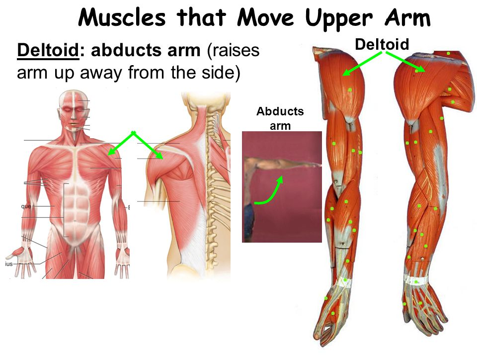 Deltoid Muscles that Move Upper Arm Deltoid: abducts arm (raises arm up away from the side) Abducts arm