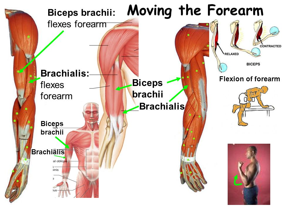 Moving the Forearm Brachialis Biceps brachii: flexes forearm Biceps brachii Brachialis: flexes forearm Biceps brachii Brachialis Flexion of forearm